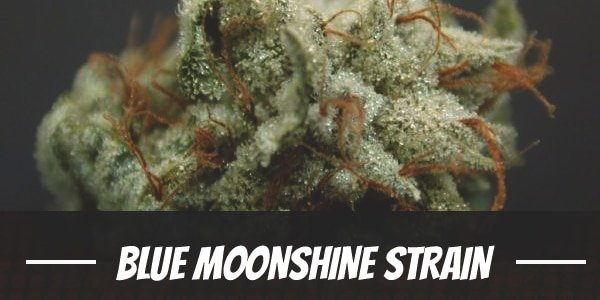 Blue Moonshine Strain