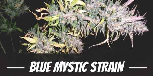 Blue Mystic Strain