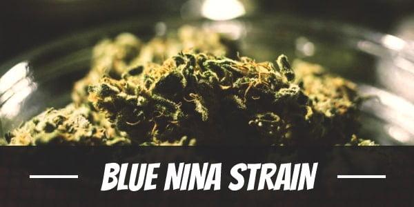 Blue Nina Strain