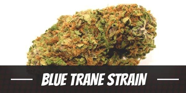 Blue Trane Strain