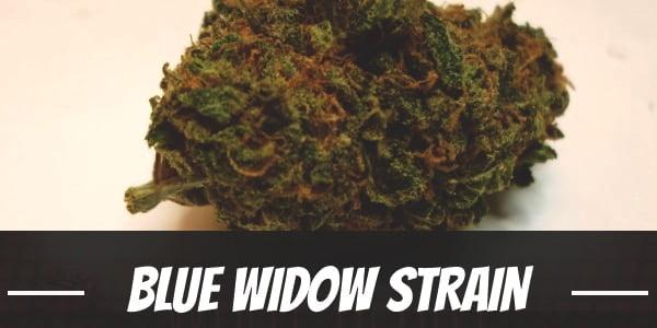 Blue Widow Strain