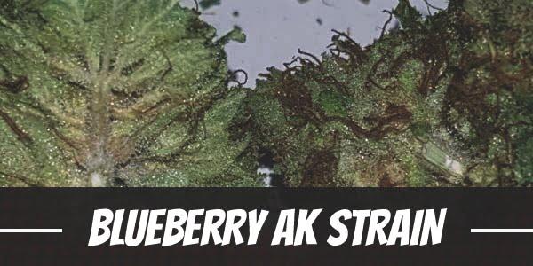 Blueberry AK Strain