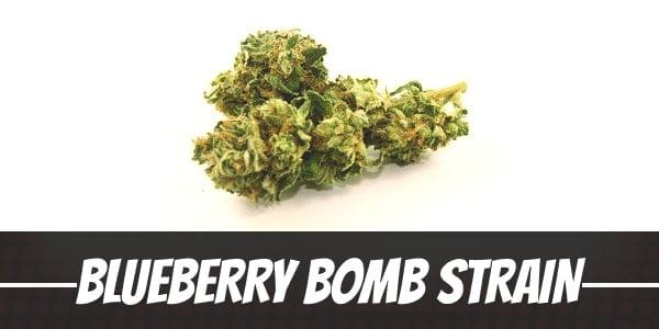 Blueberry Bomb Strain