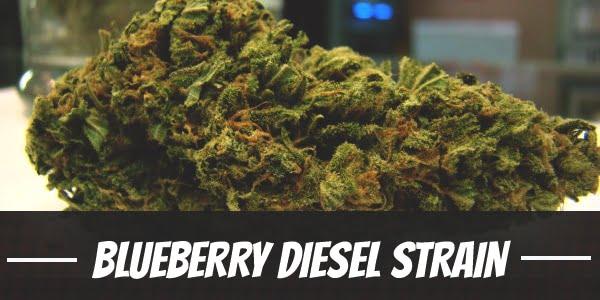 Blueberry Diesel Strain