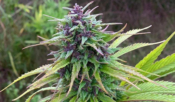Blueberry Feminized Strain