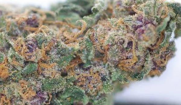 Blueberry Hashplant Strain Growing