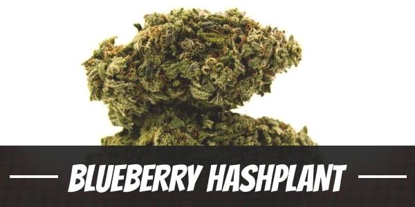 Blueberry Hashplant