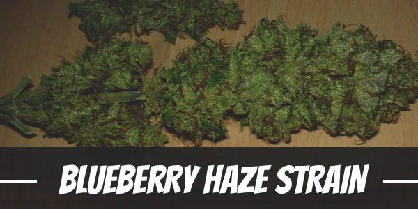 Blueberry Haze Strain