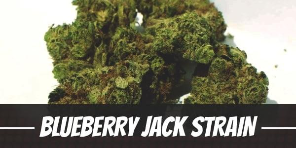 Blueberry Jack Strain