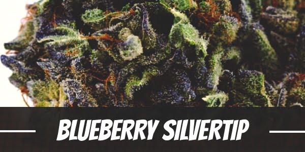 Blueberry Silvertip