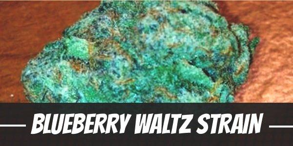 Blueberry Waltz Strain