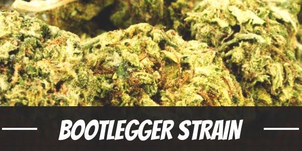 Bootlegger Strain