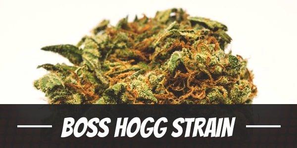 Boss Hogg Strain