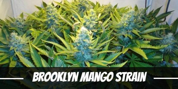 Brooklyn Mango Strain
