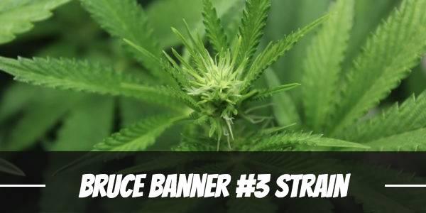 Bruce Banner #3 Strain