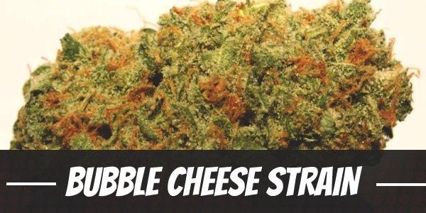 Bubble Cheese Strain