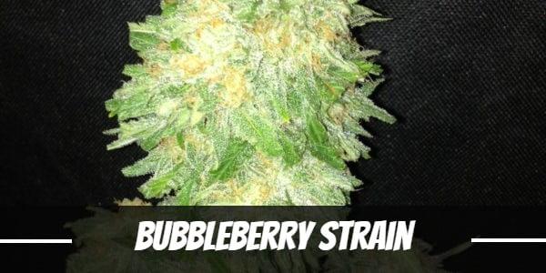 Bubbleberry Strain