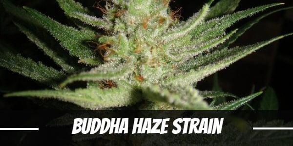 Buddha Haze Strain
