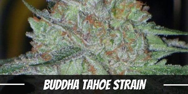 Buddha Tahoe Strain