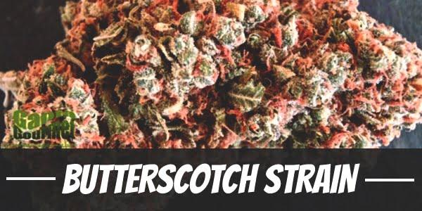 Butterscotch Strain
