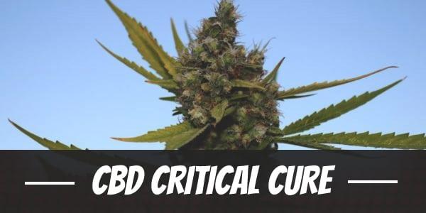 CBD Critical Cure