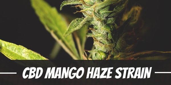 CBD Mango Haze Strain