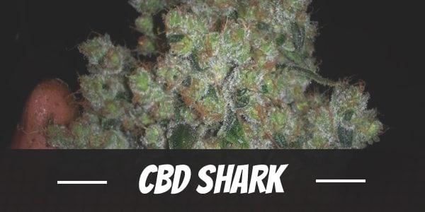 CBD Shark