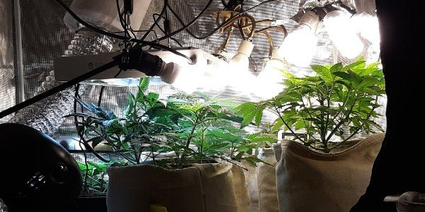 Cannabis plants in a grow tent placed under CFL lights