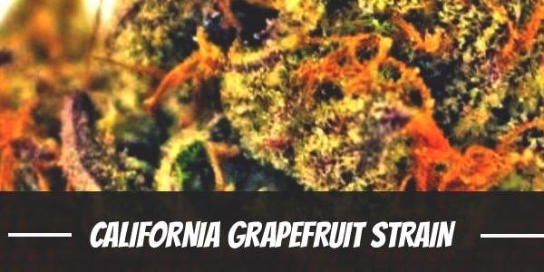 California Grapefruit marijuana strain