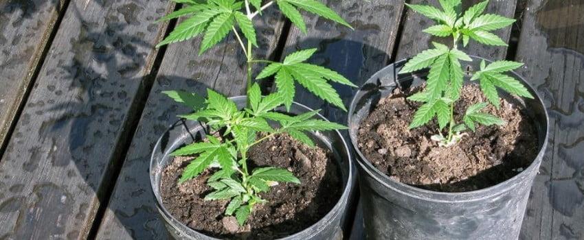 Can California residents grow their own marijuana