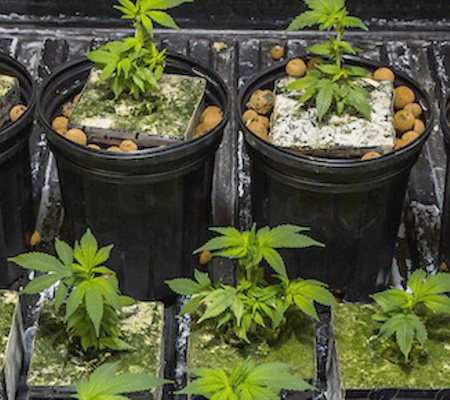 how to grow medical weed at home