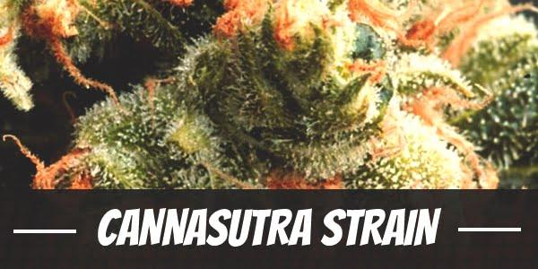 CannaSutra Strain