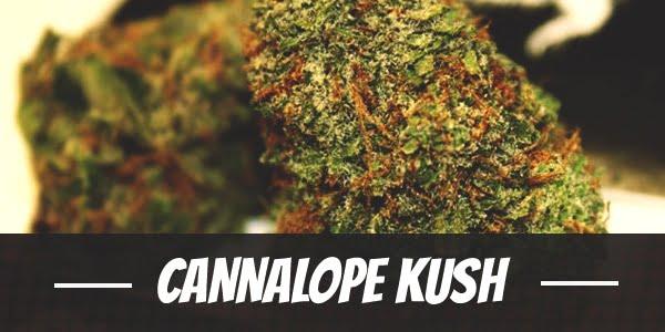 Cannalope Kush