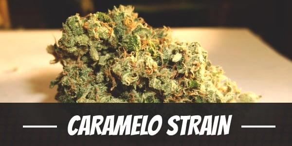 Caramelo Strain