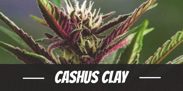 Cashus Clay
