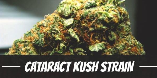 Cataract Kush Strain