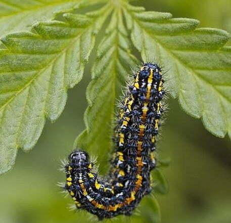 Caterpillars on cannabis plants