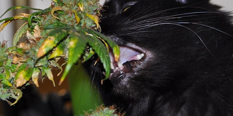Cats and dogs on cannabis plants