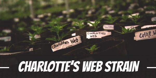 Charlotte's Web Strain