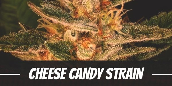 Cheese Candy Strain