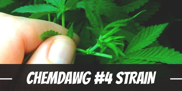 Chemdawg #4 Strain