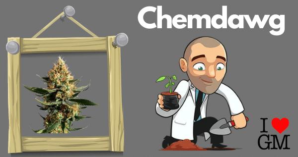 Growing Chemdawg Marijuana Seeds