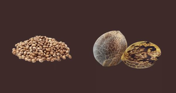 Chemdawg Marijuana Seeds