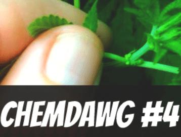 Chemdawg #4