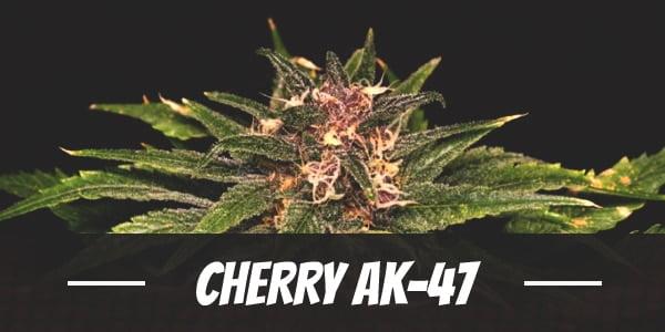 Cherry AK-47