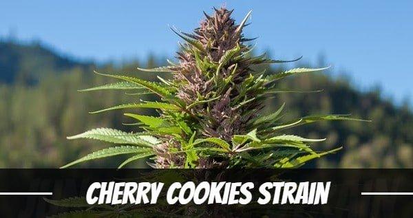Cherry Cookies Strain