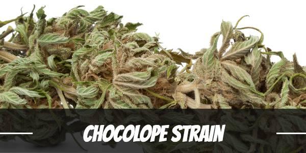 Chocolope Strain