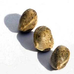 Choose the right genetics- quality cannabis seeds
