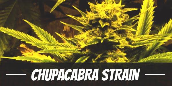 Chupacabra Strain
