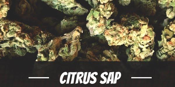 Citrus Sap